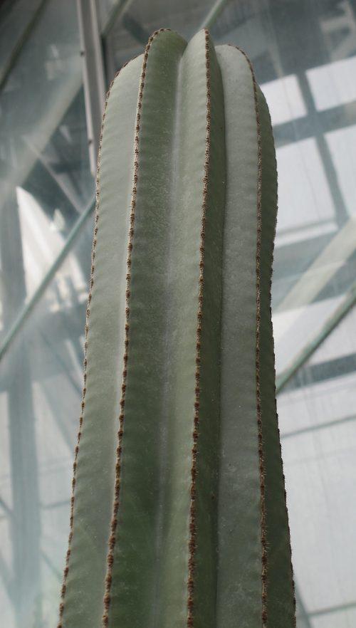 Pachycereus_marginatus